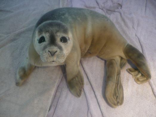 El extraño caso de una foca bebé que apareció en un potrero de vacas en Inglaterra