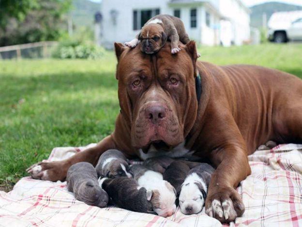Hulk, el pitbull más grande del mundo se convirtió en papá