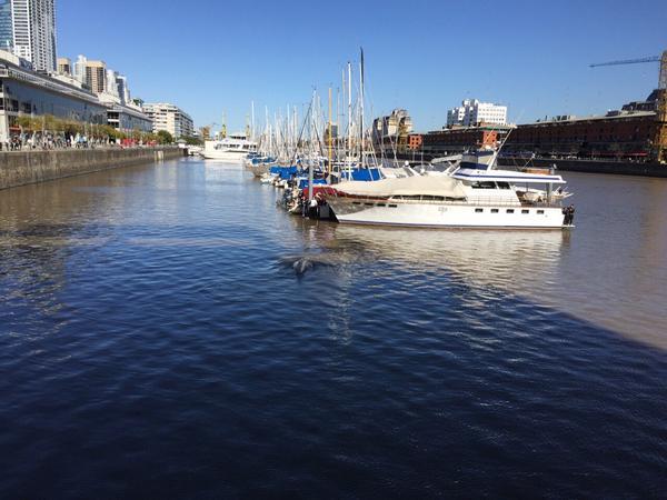Ballena perdida nada en un canal en pleno puerto de Buenos Aires