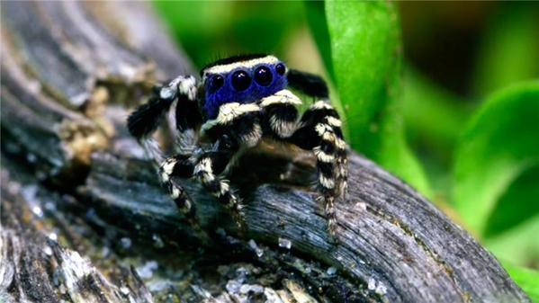 Conozca la araña más bella del planeta