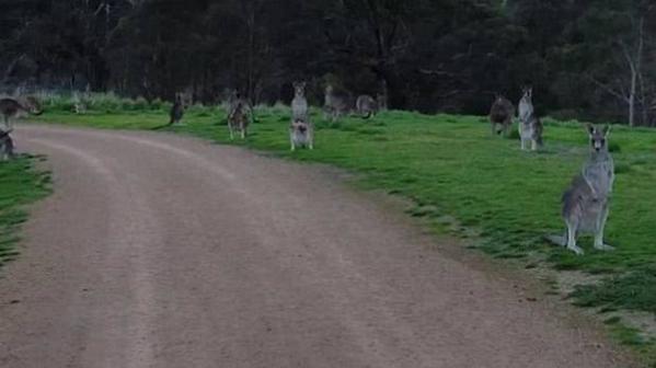 VIDEO: Canguros 'aterrorizan' a un ciclista en Australia