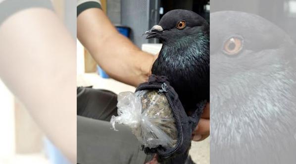 Detenida en Costa Rica «narcopaloma» que llevaba droga a una prisión