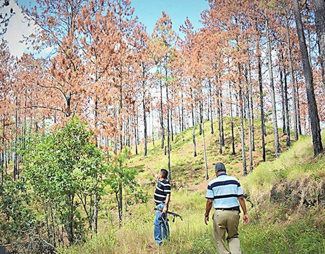 Honduras: 48 millones aporta UE para combatir gorgojo