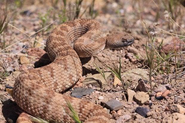 EEUU: hombre encontró una serpiente de cascabel, se quiso hacer una selfie y sucedió lo peor