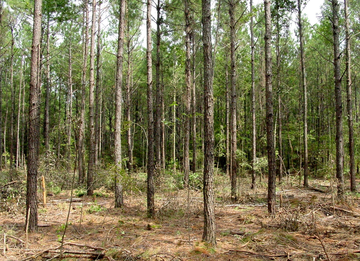 Gorgojos han hecho estragos en un 25% del bosque de pino en Siguatepeque