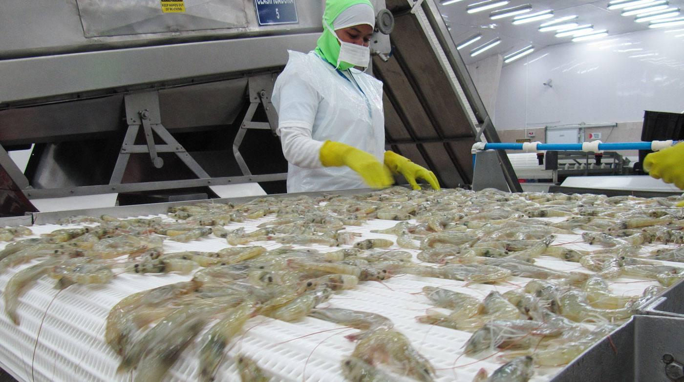 Exportación de camarón dejará unos 220 millones de lempiras en divisas