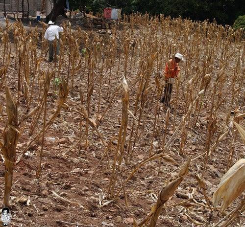 Crisis nacional: Sequía afectará a 161,403 familias; alimentación es incierta por pérdida de cultivos