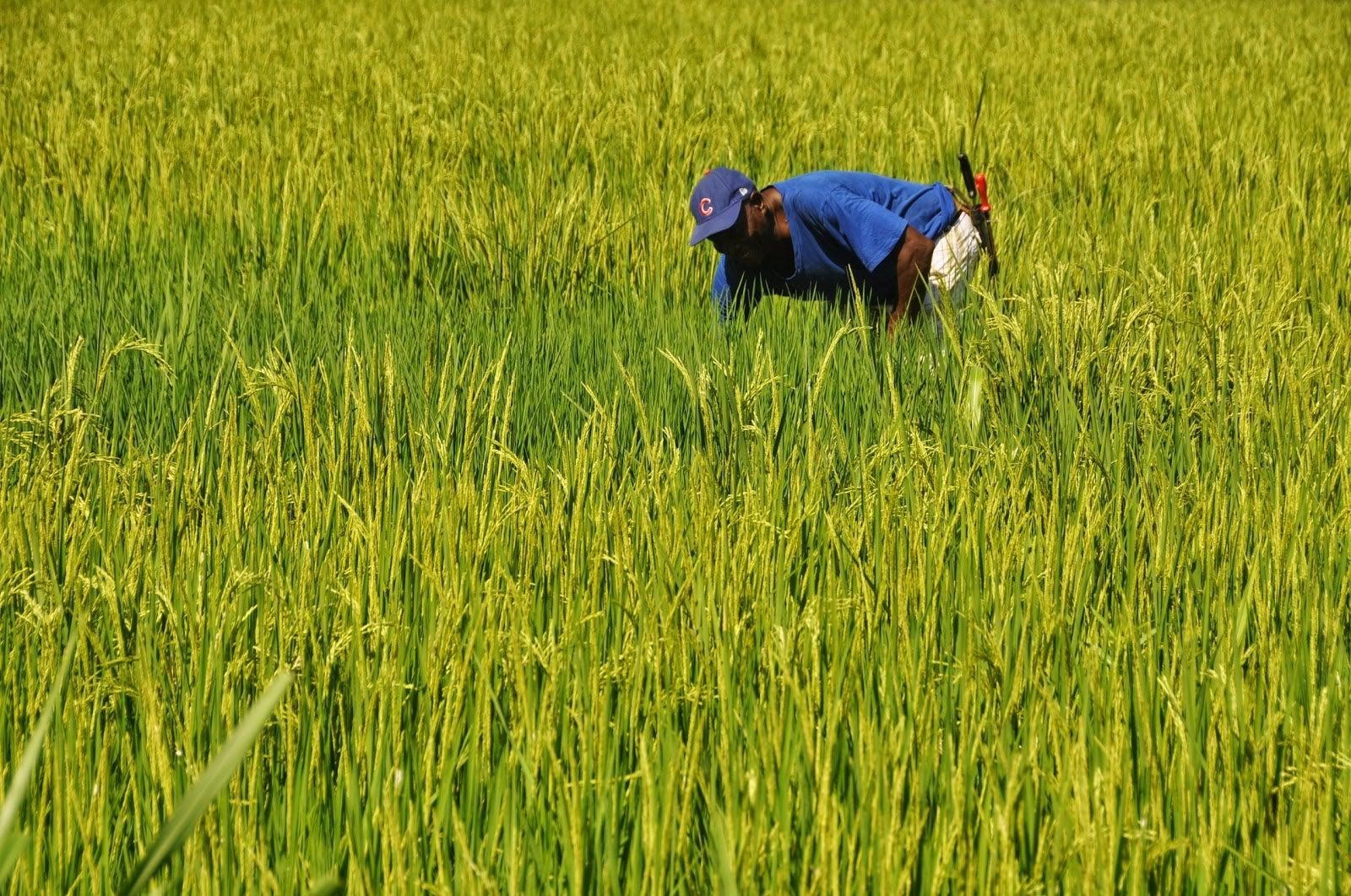 Arroceros reportan más de 25 millones en pérdidas; les advirtieron el riesgo de no sembrar