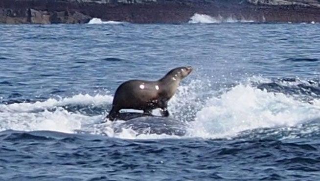 La foca que surfea sobre una ballena