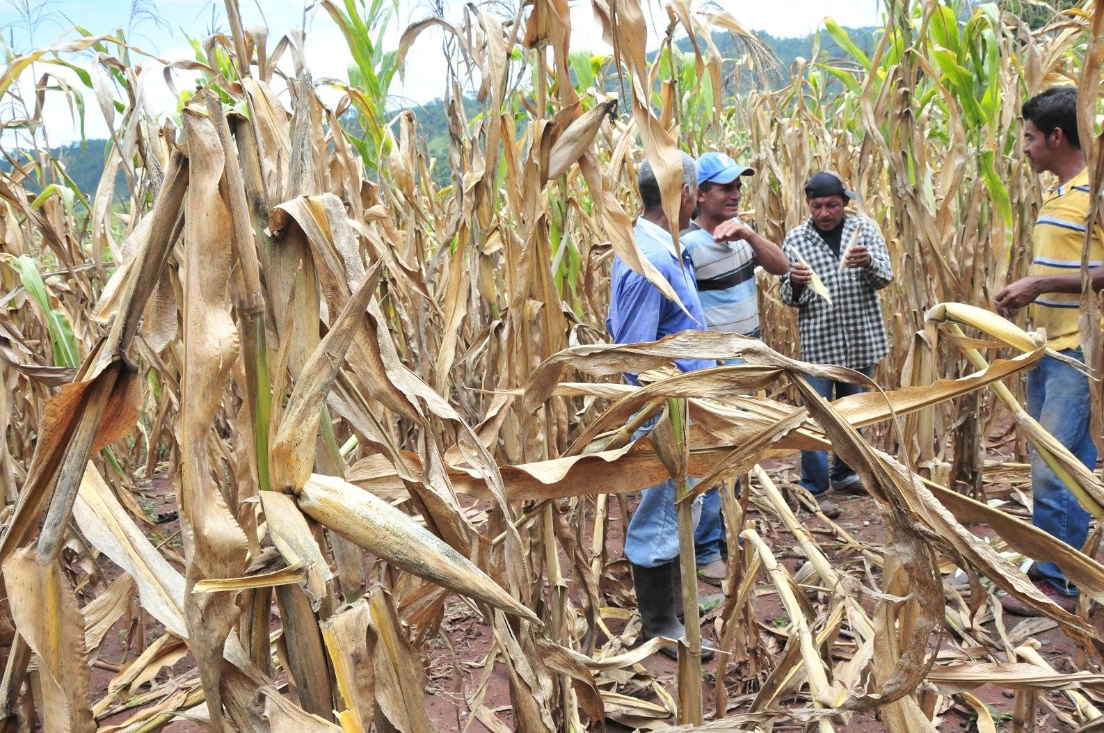 SAG capacitará agricultores en ventilaje de maíz, sorgo, y utilización de pasto