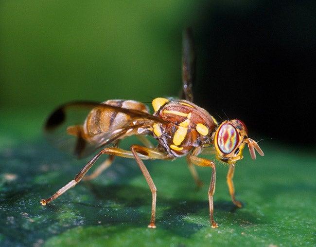 EEUU: Pequeña mosca asiática siembra el temor en los productores de Florida