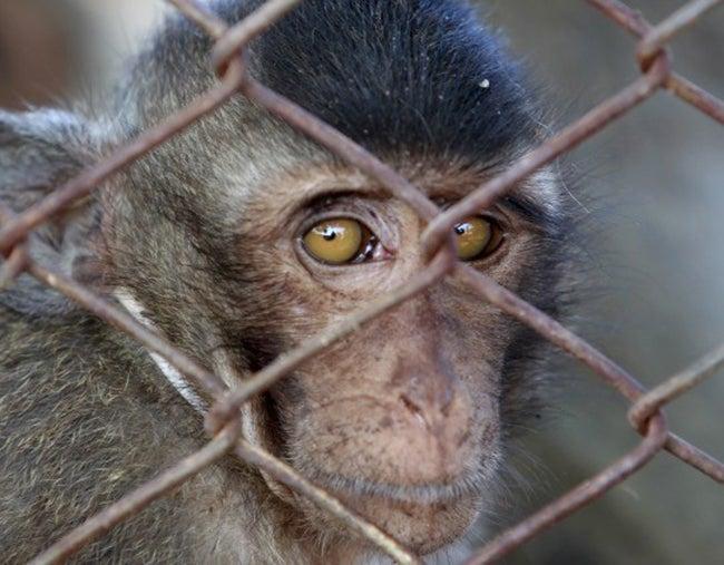 'Botas', el mono que dejó rastro sobre 'El Chapo' Guzmán