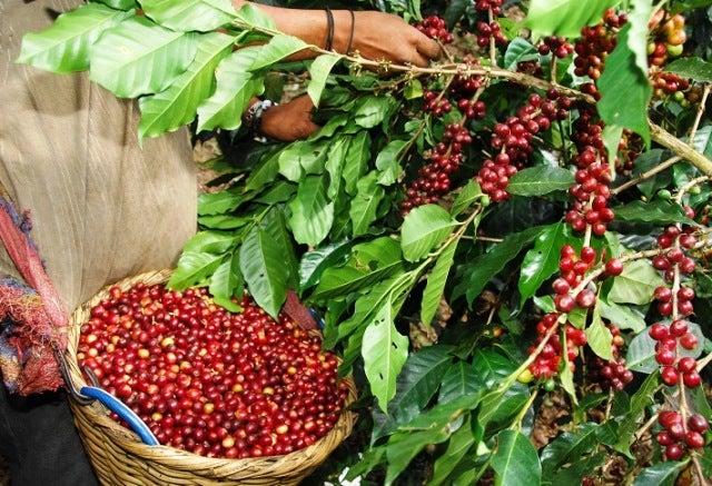 Unos mil 300 millones de dólares en divisas generará la producción de café este año