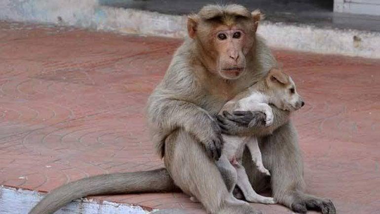 Un mono adoptó a un perro callejero, lo cuida y alimenta