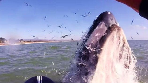 Una ballena sorprende a una surfista al intentar montarse en su tabla