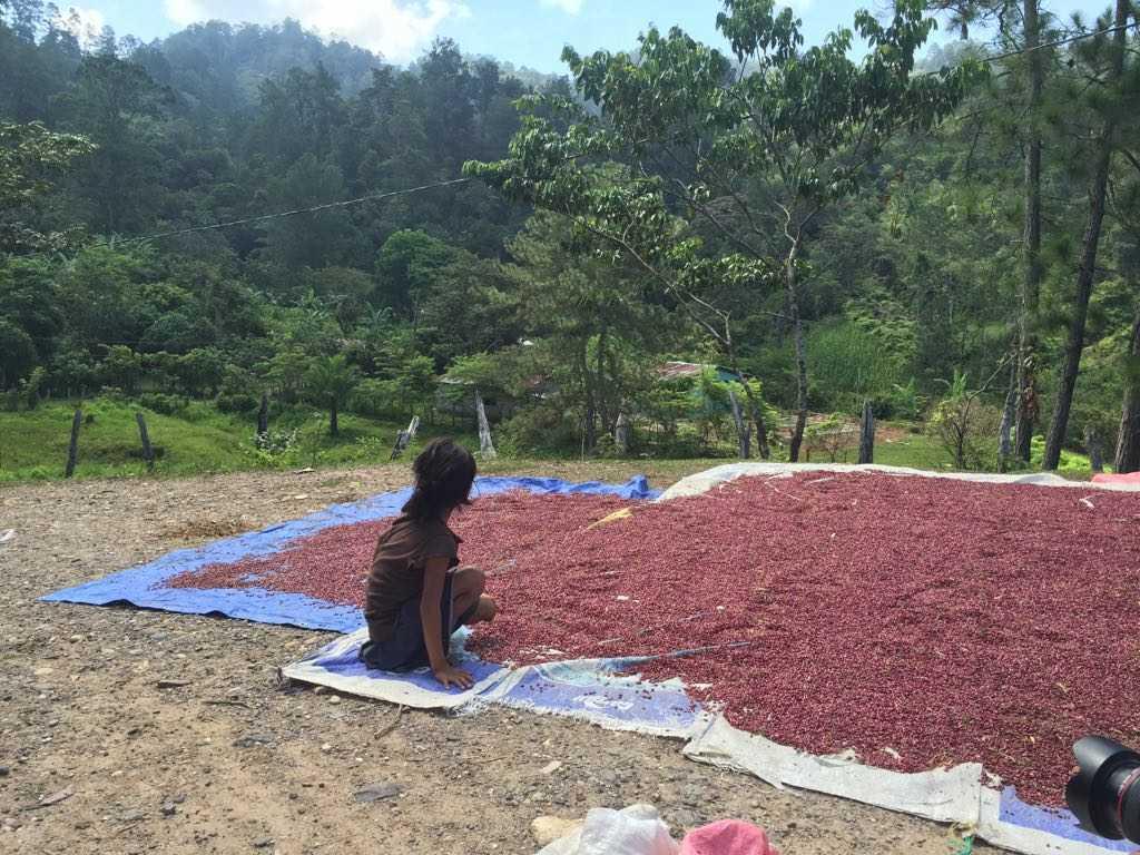 Muchos niños están trabajando en actividades agrícolas luego que los centros educativos que financiaba la empresa fueron cancelados