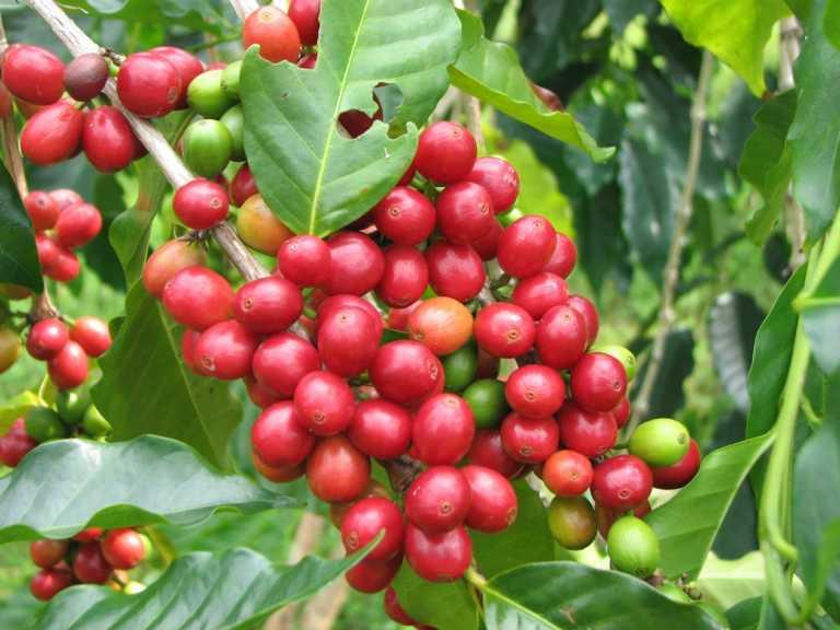 Cosecha 2016-2017: Esperan más de 10 millones de sacos de café