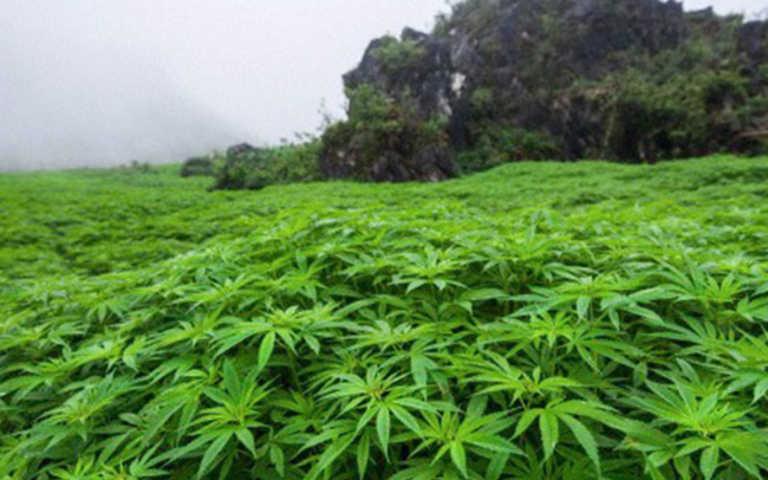 En CN buscarán legalizar la marihuana de tipo medicinal en Honduras