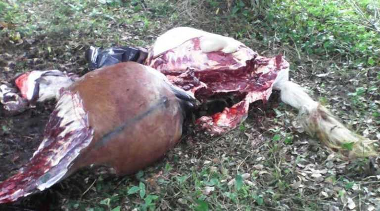 Pandilleros de El Salvador vendían carne de caballo para financiarse