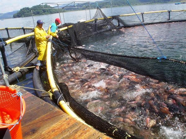 Exportación de tilapia