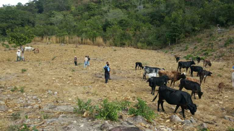 Policía recupera ganado robado en Ocotepeque