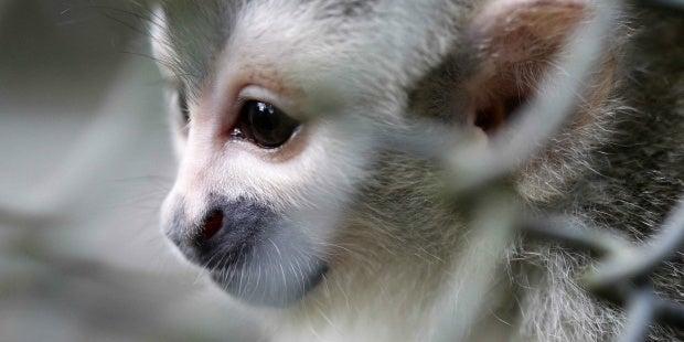 Autoridades buscan 42 monos tití por estar infectados con VIH