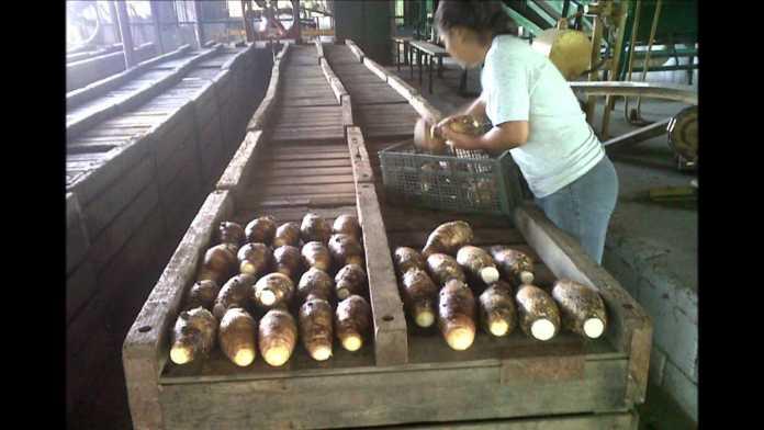 exportaciones de malanga