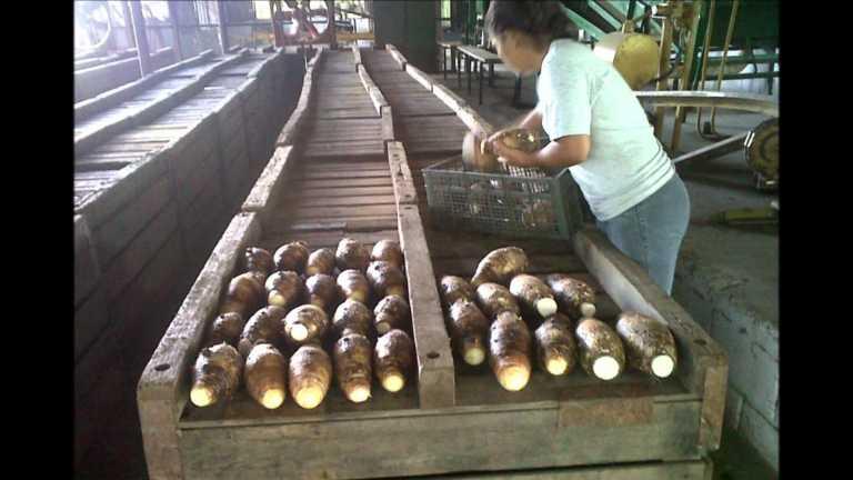 Exportaciones de malanga presentan un crecimiento en Honduras