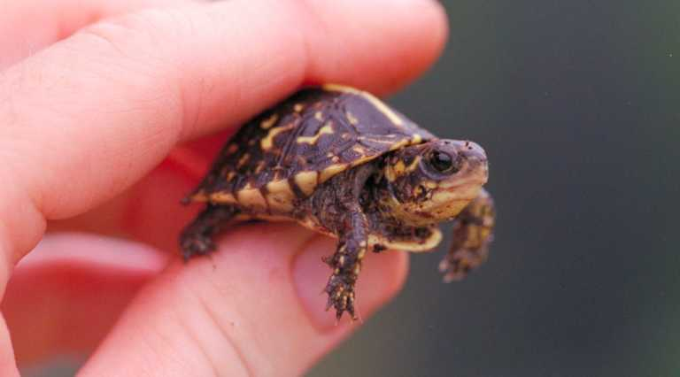 Salud recomienda usar tortugas para deshacerse de los zancudos