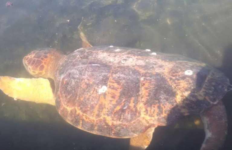 Roatán: Tortuga marina en cautiverio vivía en precarias condiciones