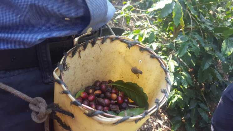 A la espera de informe de variedad de roya en café hondureño