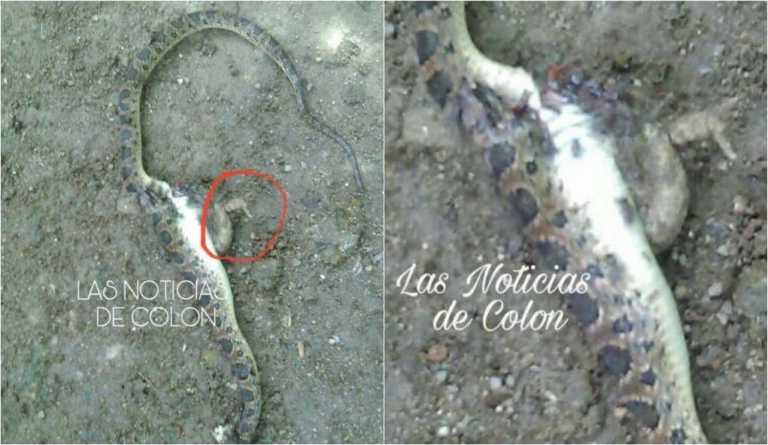 Encuentran extraña serpiente con dos patas en Colón