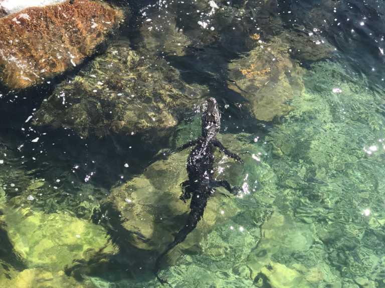 Capturan un cocodrilo en Miami, cerca de playas turisticas