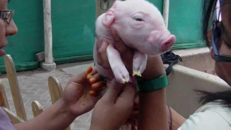 Nace cerdito con orejas y dedos humanos en Sonaguera
