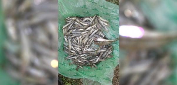 muerte de peces