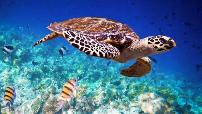 Asista a la liberación de tortugas carey en las playas de Omoa