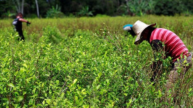 Raspachines recogen hojas de coca en Guayabero, provincia de Guaviare (Colombia), el 23 de mayo de 2016.