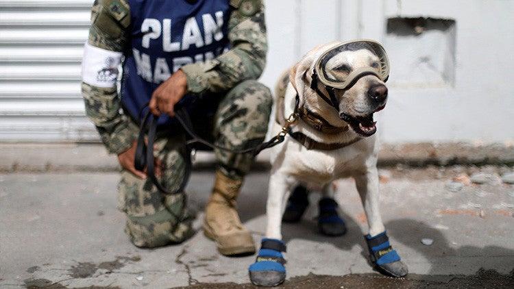 FOTOS: Conozca los héroes caninos que rescatan afectados en México