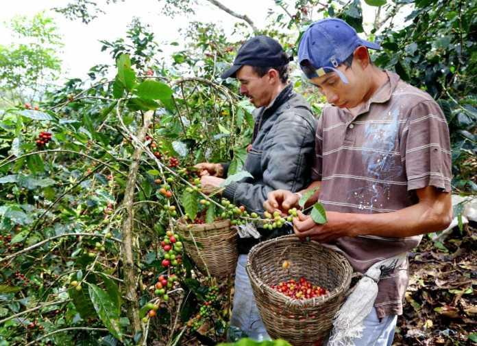 quintales de café en 2018