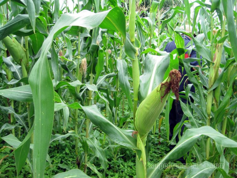 En riesgo de perderse cinco millones de quintales de maíz por la canícula