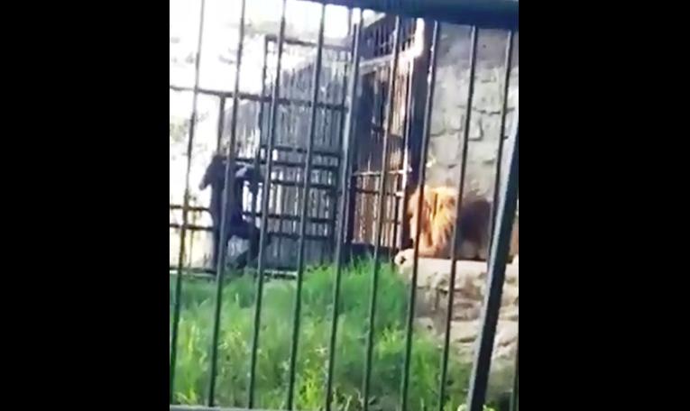 Hondureño casi pierde su brazo al ser atacado por león en El Picacho
