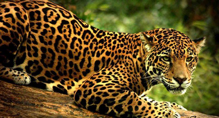 El jaguar más grande de América vive en Honduras, según The Explorers