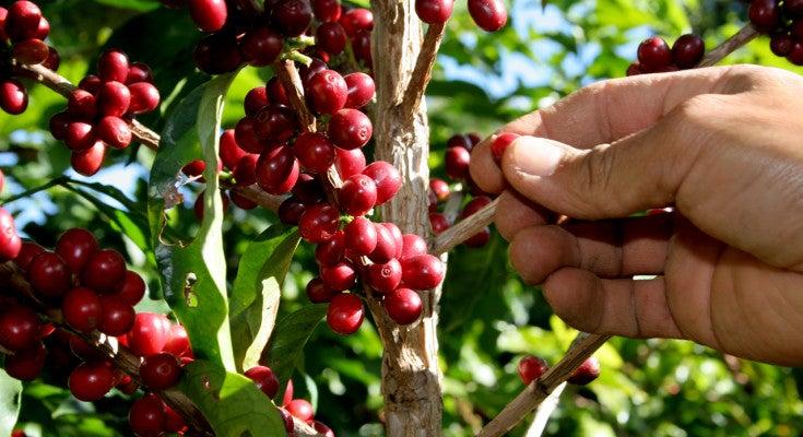 Medianos productores de café desaparecerán el próximo año, asegura caficultor