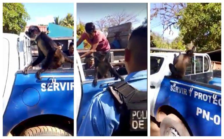 VÍDEO   ¡Insólito! Policía detiene a un mono por agredir a su dueña