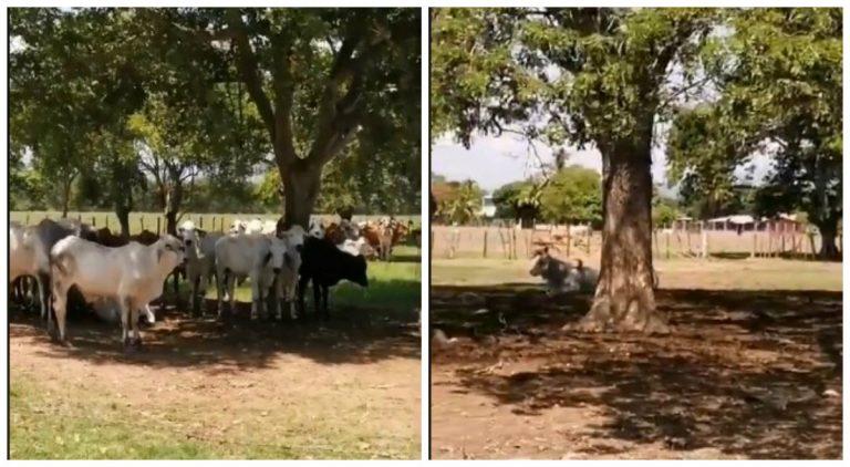De forma ilegal estarían vendiendo ganado nacido en la hacienda Lima Corral