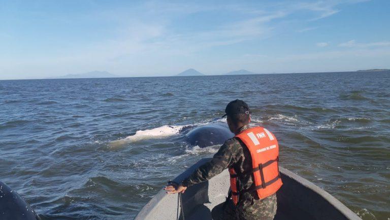 Honduras: pescadores y naval rescatan a una ballena en el Golfo de Fonseca