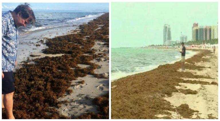 El sargazo, el alga que viste las playas de Miami y de México con olor a podrido