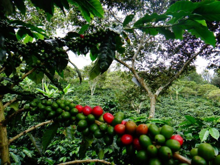 VÍDEO: Caficultor protesta y corta plantación de café para sembrar maíz