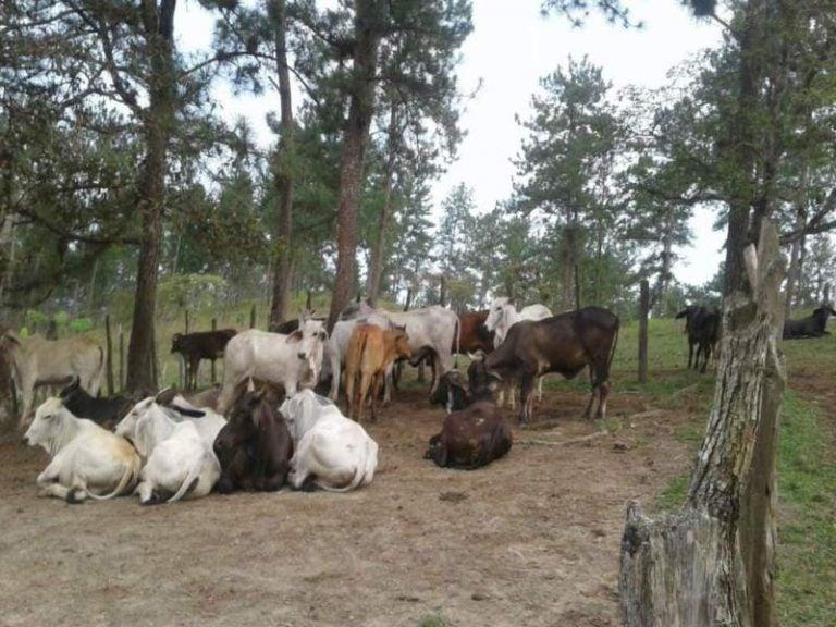 Senasa descarta amenazas de brote de rabia en ganado bovino