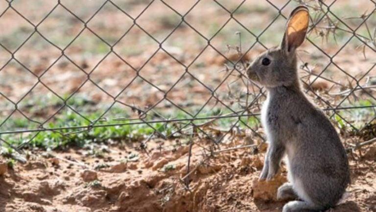 """Conejo de monte ingresa a lista de especies """"en peligro"""""""